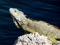 Iguana eat you