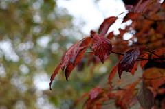 Wet dogwood leaves