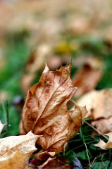 Papery leaf