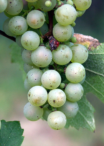 Grapes near Beilstein