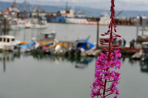 Fireweed and the harbor