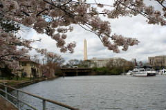 Washington Monument and blossoms